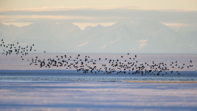 Long-tailed ducks fly along a barrier island outside Kaktovik, Alaska, on the edge of the Arctic National Wildlife Refuge. (Sylvain Cordier/Gamma-Rapho via Getty Images)